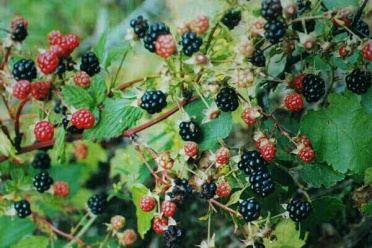 blackberries_wild