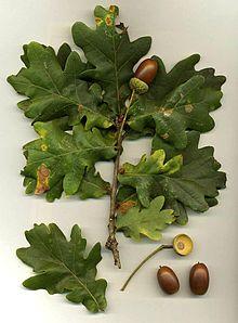 Quercus_robur